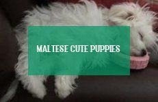 Maltese Cute Puppies Maltesische Susse Welpen Puppies Really