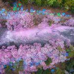 Cherry Blossoms Flood the Inokashira Park Lake in Tokyo