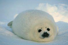 Baby Harp Seal Pup