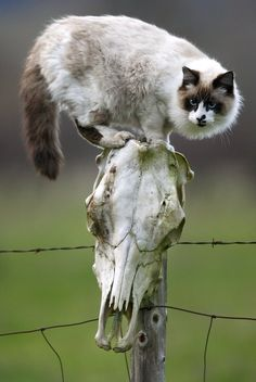 Skull bound  A cat perches on a fence post decorated with a cow skull on a ranch near Oakland, Oregon. By Robin Loznak