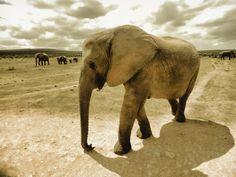 Tanja Riedel: Junger afrikanischer Elefant Leinwandbilder