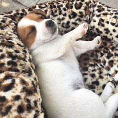 Image may contain: dog Cute Dogs And Puppies, Baby Puppies, Baby Dogs, I Love Dogs, Doggies, Jack Russell Puppies, Jack Russell Terrier, Cute Baby Animals, Animals And Pets