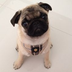 Puppia harness at www.ilovepugs.co.uk post worldwide