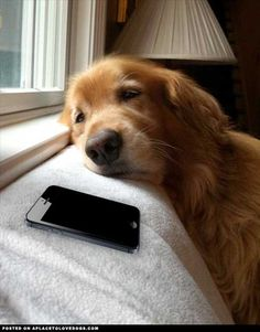 Golden Retriever Waiting For A Call.This will be Ben next year waiting for Becca Funny Dogs, Funny Animals, Cute Animals, Animal Memes, Baby Animals, Baby Dogs, Dogs And Puppies, Doggies, I Love Dogs