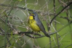 Photograph Canada Warbler by Peter Caulfield on 500px