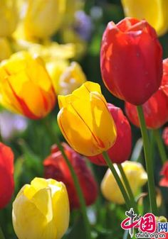 Tulip Time: Mid- April to Mid-May Place: Zhongshan Park  The best place to see tulip in Beijing is Zhongshan Park. https://www.pinterest.com/infoseekchina/china-travel-tourism-news/