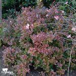 "Berberis ""Little Favourite' Small Shrubs, Compact, Autumn, Sun, Garden, Plants, Color, Garten, Fall Season"