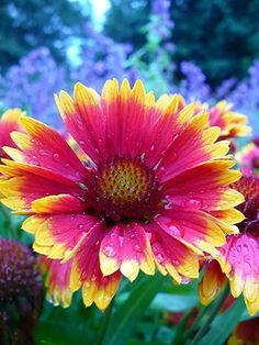 I so want an Indian Blanket flower tattoo! Amazing Flowers, Colorful Flowers, Beautiful Flowers, Nice Flower, Summer Flowers, Flowers Nature, Wild Flowers, Indian Blanket Flower, Indian Blankets