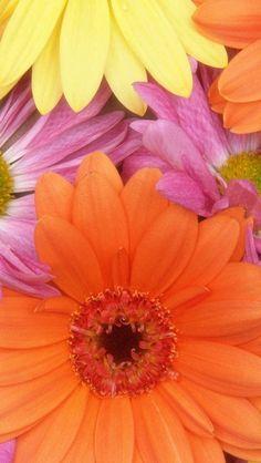 gerbera_flowers_petals_colorful_buds_close-up_34131_640x1136   Flickr…