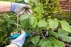 Photo about Pruning with young scissors young shoots of raspberries in the garden. Image of season, shoots, activity - 121329727 Monogram Logo, Logan, Restaurant Logo, Logo Design Trends, Branding, Raspberry, Seasons, Hair Styles, Image