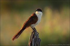 Coppery-tailed Coucal / Centropus cupreicaudus | by alexauer_cz