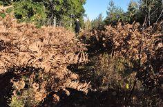 Bettinas blad: Ormbunkar i höstfärger / ferns in autumncolur in the woods.