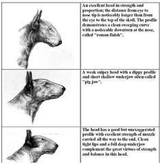Bull Terrier Nose Structures -  the middle one is actually how they were created, nothing weak about it!!!