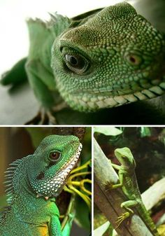 When mature, Chinese Water Dragons will display an iridescent patch on their throat that can be a number of contrasting colors, usually red, pink or orange. The beauty and relative docility of these lizards makes them great pets if you're a reptile lover but take note: when frightened, Chinese Water Dragons can run for short distances on their hind legs.