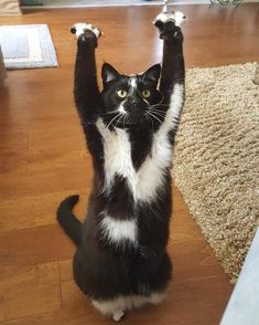 Goal Kitty, A Gorgeous Cat With Unique Markings Who Loves to Raise Her Front Paws and Cheer