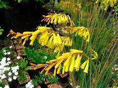 """Kniphofia pauciflora -- 18"""""""