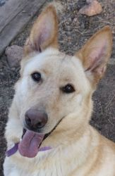 Roo is an adoptable German Shepherd Dog Dog in Littleton, CO. Roo: German Shepherd Mix, Female, Tan, 60 lbs., DOB 05/10 Special Needs: This beauty only has three legs although that doesn't slow her do...