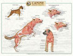 anatomia topográfica de los animales - Buscar con Google