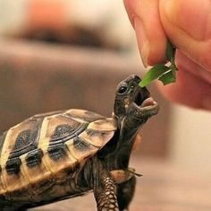 The popularity of tortoises as pets has increased over time. This is because they are silent, they do not shed any far and they are cute. They are most cute Cute Tortoise, Tortoise Care, Tortoise Turtle, Baby Tortoise, Cute Baby Animals, Animals And Pets, Funny Animals, Images Of Animals, Turtle Love