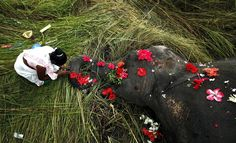 A villager offers flowers to a female adult elephant lying dead in a paddy field in Panbari village, India. The elephant was hit by a train and killed while crossing railway tracks with a herd of wild Asiatic elephants. Human compassion. <3