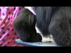 Newfoundland Grooming Part 3 Trimming with Penny Shubert