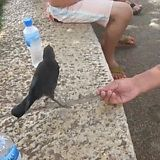 Crow asks for water - Imgur