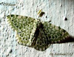 Chlororithra sp c.f. C. fea · Geometridae