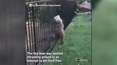 Now Playing: Cops rescue tiny bear with head stuck in jar       Now Playing: Giant panda adorably falls out of trees       Now Playing: Father dances with daughter after kidney transplant       Now Playing: Young woman integrates prosthetic leg into amazing photos around Europe        Now... - #Bear, #Cops, #Jar, #Rescue, #Stuck, #Tiny, #TopStories, #Video