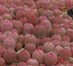 Pink outer needles cover this cacti