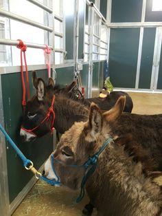 We sell donkey not horse halters http://www.donkeywhisperer.com