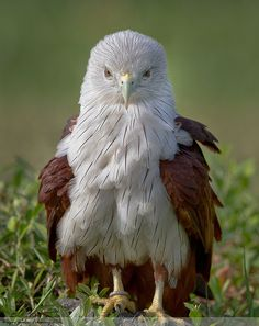 Brahminy Kite | Flickr - Photo Sharing!