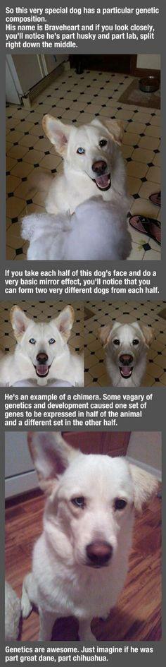 Half Husky, Half Lab