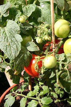 Gardening, Vegetables, Green, Food, Gardens, Dyes, Terrace Garden, Shade Perennials, Fruit And Veg