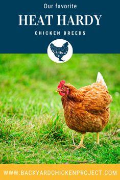 Top Ten Heat Tolerant Chicken Breeds Fancy Chickens, Raising Backyard Chickens, Backyard Farming, Red Chicken, Small Chicken, Delaware Chickens, Plymouth Rock Chicken, Chicken Breeds, Chicken Coops