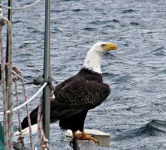 fed78ba94f861 Bald Eagle next to our boat