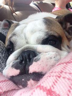 ♥ Smuched ♥ English Bulldog Love