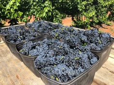 The first vintage of Mencia grapes at Bassham Wines in the Riverland Region of South Australia. Wine Varietals, Andalusia, South Australia, Wine Making, Wines, Red Wine, Spain, Website, Vintage