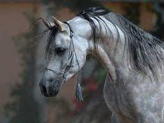 Image result for arab horse