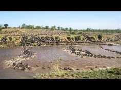This Wildebeest Migration Time-lapse is the Coolest 1-Minute You'll Watch Today. VP: Now there's something you won't see on Snapshot Serengeti!