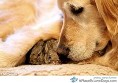 Golden Retriever is mother to a nest of abandoned bunnies