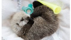 Cutest sea otter pup ever? Vancouver Aquarium Marine Mammal Rescue Centre is caring for a tiny sea otter pup who is estimated to be as young as 2-weeks-old.