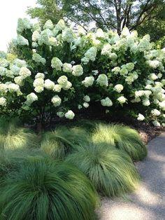 Men hur läckra är inte dessa kombinationerna då? Hortensia tillsammans med lågt gräs. Både romantiskt och stramt på en gång. Gräsen kan jag inte namnet på men hortensiorna skulle kunna vara Limelight (den översta) och Anabelle. Bilderna har jag hittat på Pinterest.