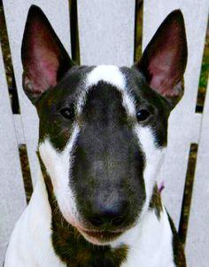 Bull Terrier with unusual markings