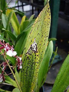 As orquídeas costumam ser plantas resistentes, que dificilmente ficam doentes. No entanto, todo orquidófilo em algum momento já se deparou com este problem