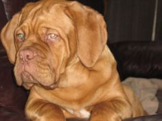 Dogue de Bordeaux Dog Breed Information - American Kennel Club