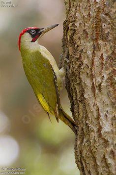 European Green Woodpecker - Picus viridis by Fabrice Hénon . Green Woodpecker, Downy Woodpecker, Pretty Birds, Beautiful Birds, Aix Galericulata, British Wildlife, Wildlife Nature, Wild Birds, Animal Drawings