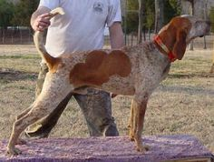 English Coonhound - why is it English? I think because it has English Foxhound in its background. Red Tick Coonhound, Bluetick Coonhound, Lion Hunting, Hunting Dogs, Plott Hound, Hound Dog, English Coonhound, North American Animals, The Fox And The Hound