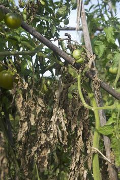 Tomato Late blight causes this look in a few days.  Garden author Doug Green lists the other tomato blights in this article