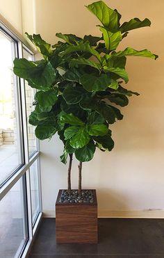 ficus in custom wood planter
