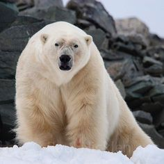 The stare, grace and power of a massive male polar bear. By Paul Nicklen.